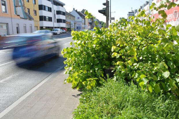 Bäume Bonner Straße